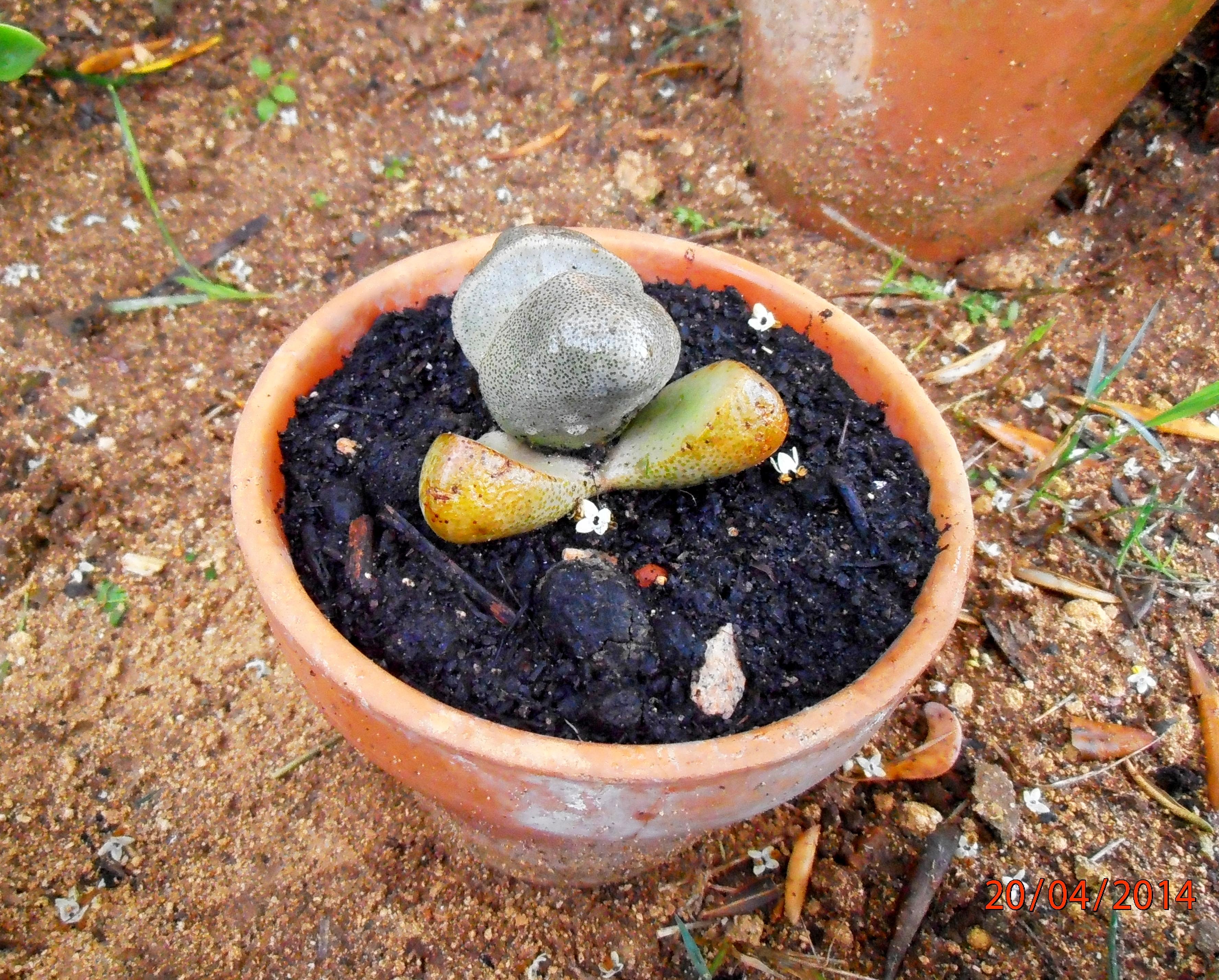 Identificación biológica de las suculentas
