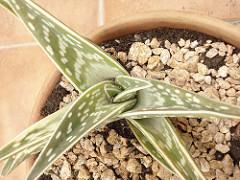 Aloe y Aloe