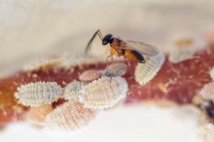Leptomastix dactylopii ( parasitaria )