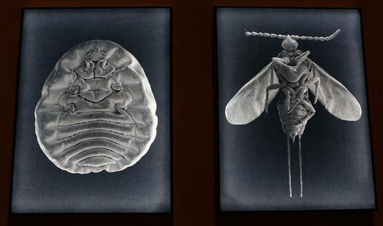 La cochinilla, el insecto mexicano que es la fuente del colorante, en exhibición como parte de la exposición en Ciudad de México Foto Marco Ugarte/Associated Press